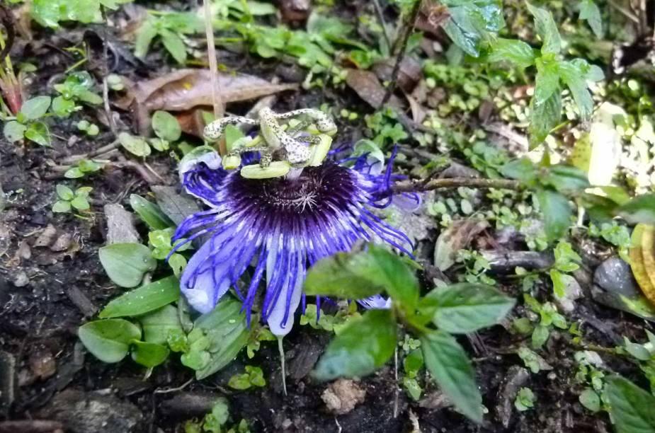 Flor do maracujá - fruta natural da América do Sul - na trilha até a Pedra Redonda, em Monte Verde (MG)