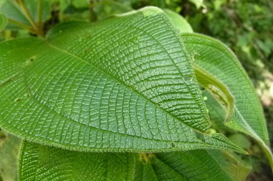 Aparência peculiar de uma folha da flora nativa da região