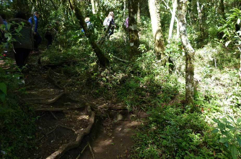 Troncos, raízes e samambaias de todos os tamanhos espalham-se pela trilha de dificuldade fácil