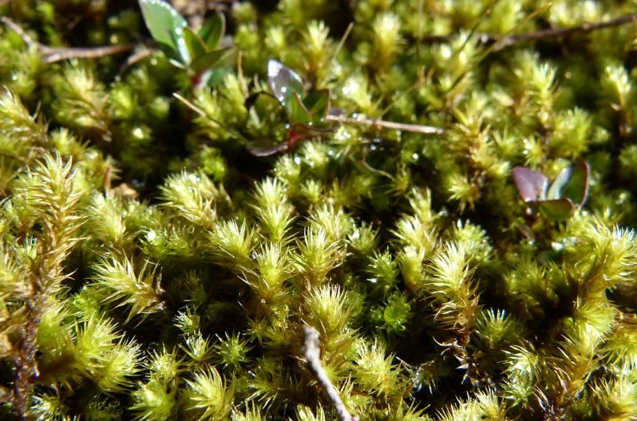 Suculentas rasteiras sobrevivem aos ventos fortes e baixa temperatura do topo da Pedra Redonda, aos 1930 metros de altitude