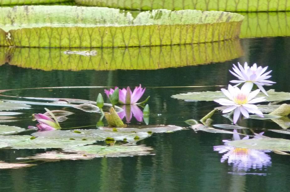 <strong>Bok Tower Gardens</strong>                                                            Exemplares de vitórias-régias - planta tipicamente amazônica - crescem naturalmente no ambiente úmido do centro da Flórida
