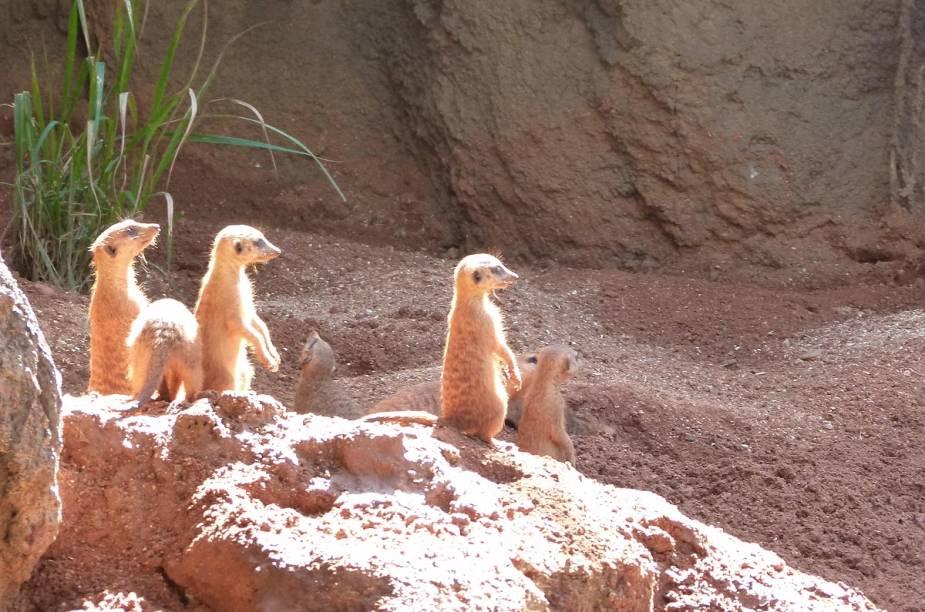 """<strong>Brevard Zoo</strong>                Suricatos observam grupos de crianças no zoológico de Melbourne; o local sempre promove eventos temáticos anuais: antes de ir, <a href=""""https://brevardzoo.org/calendar"""" rel=""""consulte o site"""" target=""""_blank"""">consulte o site</a> para saber mais"""