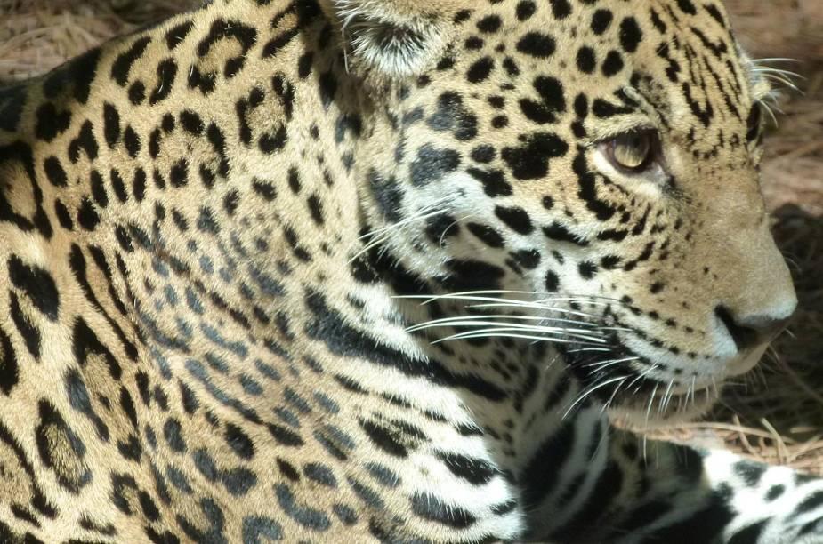 <strong>Brevard Zoo</strong>        O zoológico divide os animais em quatro áreas: a africana, a americana, a de animais da Austrália e da Ásia, e a ala da Flórida. Na foto, a onça-pintada, nossa conhecida dos biomas brasileiros