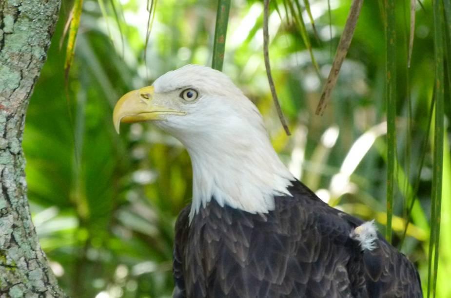 <strong>Brevard Zoo</strong>                    Águia americana, ave-símbolo dos Estados Unidos, recebe lugar especial entre os animais expostos no zoo da cidade de Melbourne, perto do Cabo Canaveral