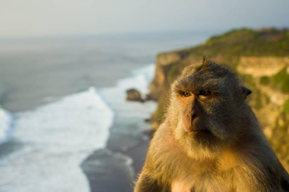 As falésias verticais da penínsual de Bukit, no sudoeste de Bali, são o lar de simpáticos macacos que vivem no entorno do templo Uluwatu. Apesar da cara séria desse exemplar, eles são conhecidos por surrupiar os pertences dos turistas incautos