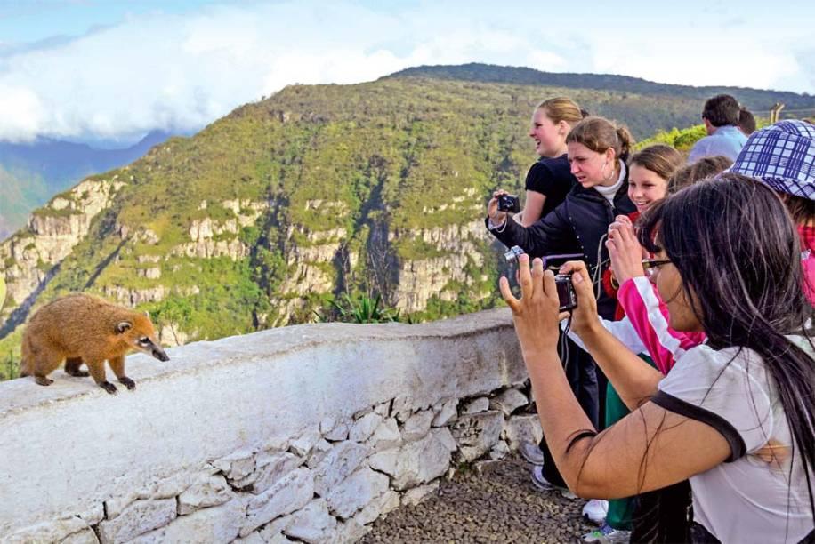 Um quati faz aparição especial para os turistas na Serra do Rio do Rastro
