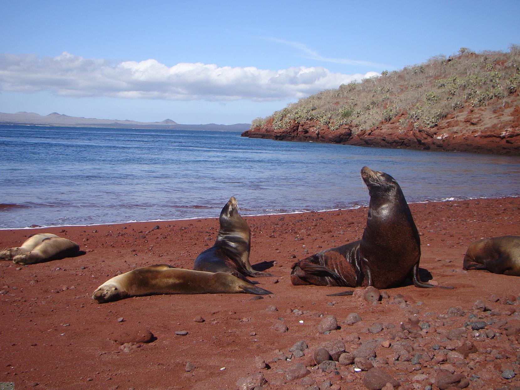 Leões marinhos descansam nas praias de areia vermelha da ilha de Rábida, Galápagos Equador