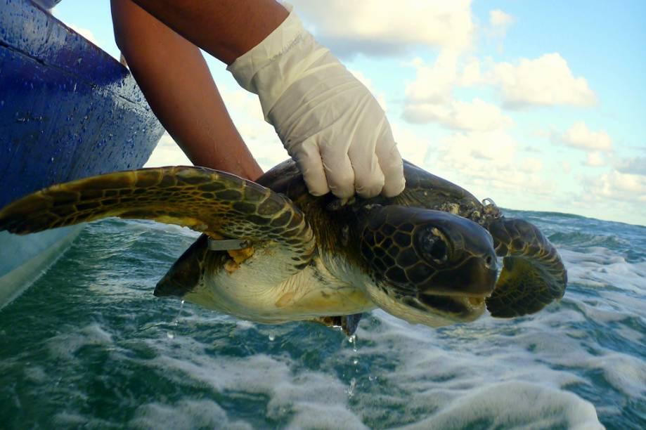 Atividade de captura, monitoramento e soltura de tartarugas marinhas, realizada pelo Projeto Tamar, na Praia do Forte, Bahia