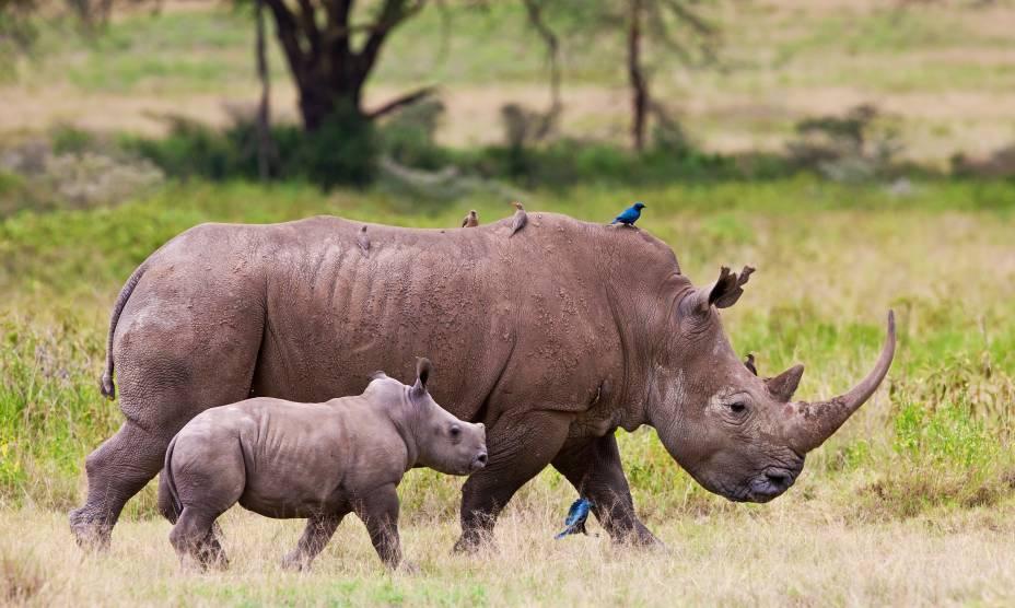 Rinoceronte e filhote no Parque Nacional Nakuru, no Quênia