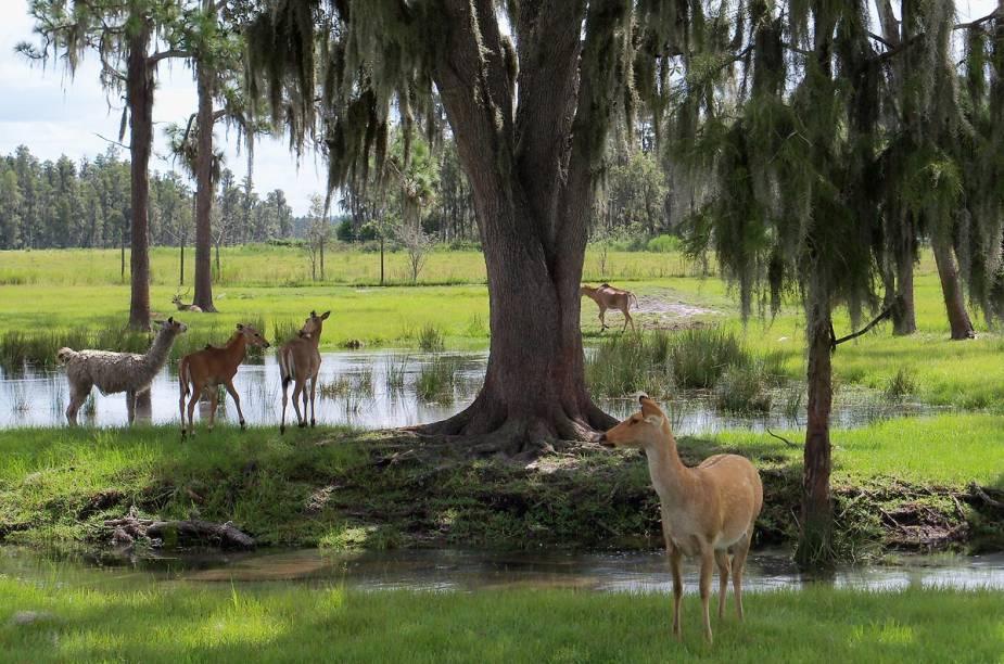 <strong>Safari Wilderness Ranch</strong>                                                        Não há os grandes carnívoros africanos no safári, mas os animais pastam livres nos 260 acres do local e aproximam-se do veículo para comer nas mãos dos visitantes