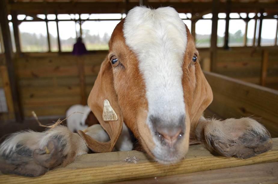 <strong>Safari Wilderness Ranch</strong>                                                        Cabra recebe tratamento no Safari Wilderness Ranch, na Flórida