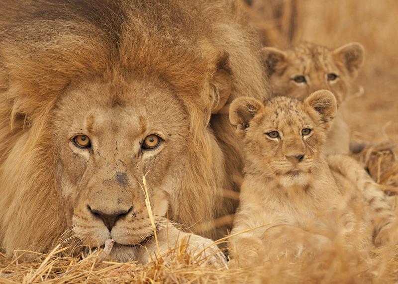 Leões e outros animais selvagens podem ser fotografados nos safáris em Botsuana, na África