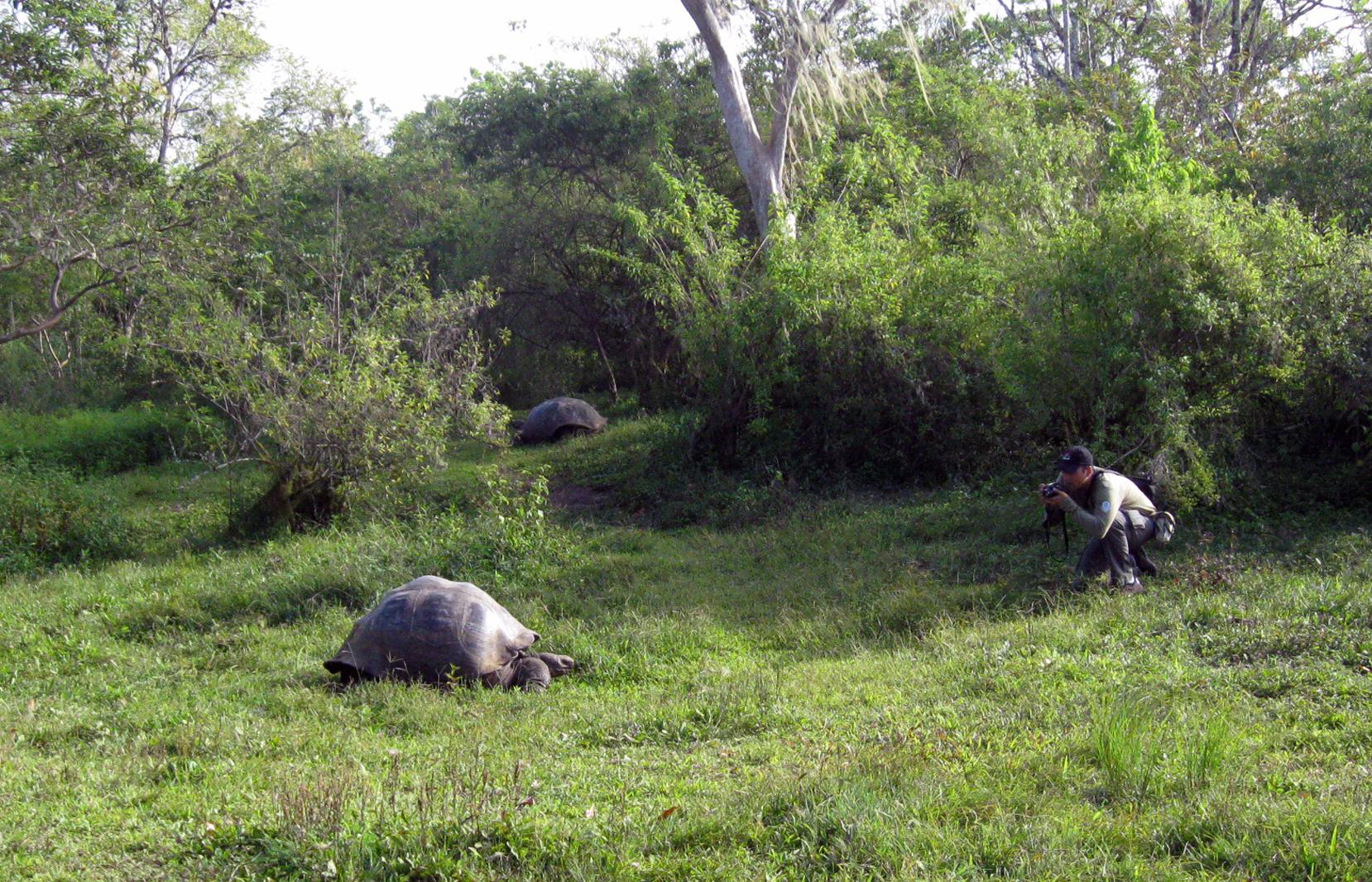 Tartarugas-gigantes-de-Galápagos nas montanhas de Santa Cruz
