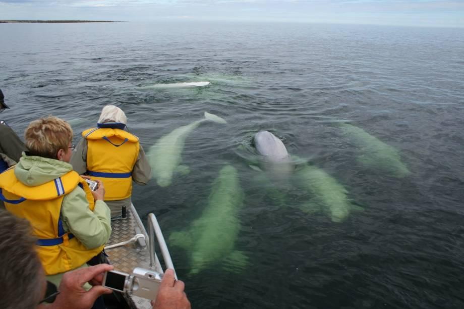 Belugas em Churchill, Manitoba