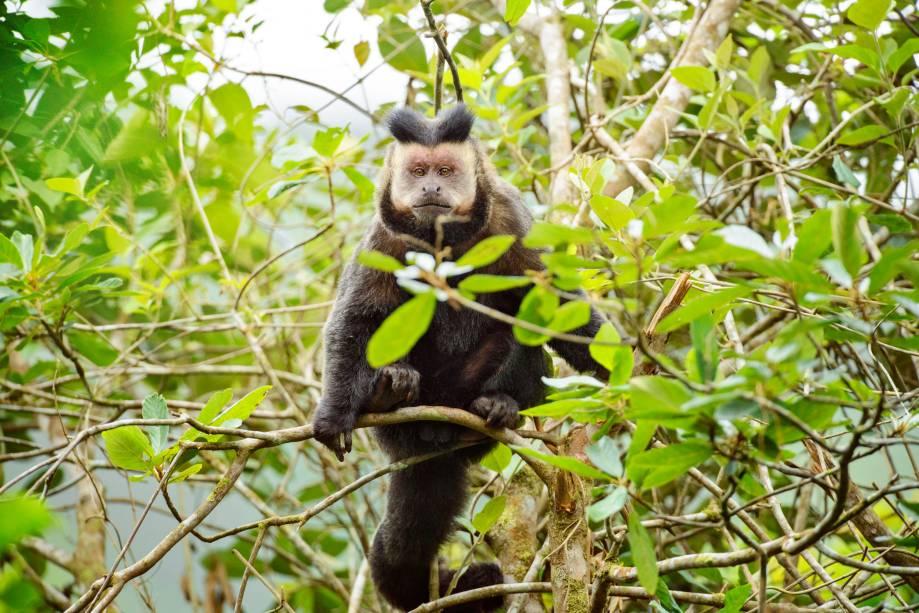 Estávamos almoçando na reserva quando veio o aviso: macacos na vila! Peguei a câmera e corri para o local. Em cinco minutos eu estava diante de um bando de macacos-prego (<em>Cebus sp</em>), interessados num pequeno bananal dos moradores. A maior parte fugiu à minha aproximação, exceto este macho, cujo o comportamento foi o de tentar intimidar mostrando os dentes e vocalizando