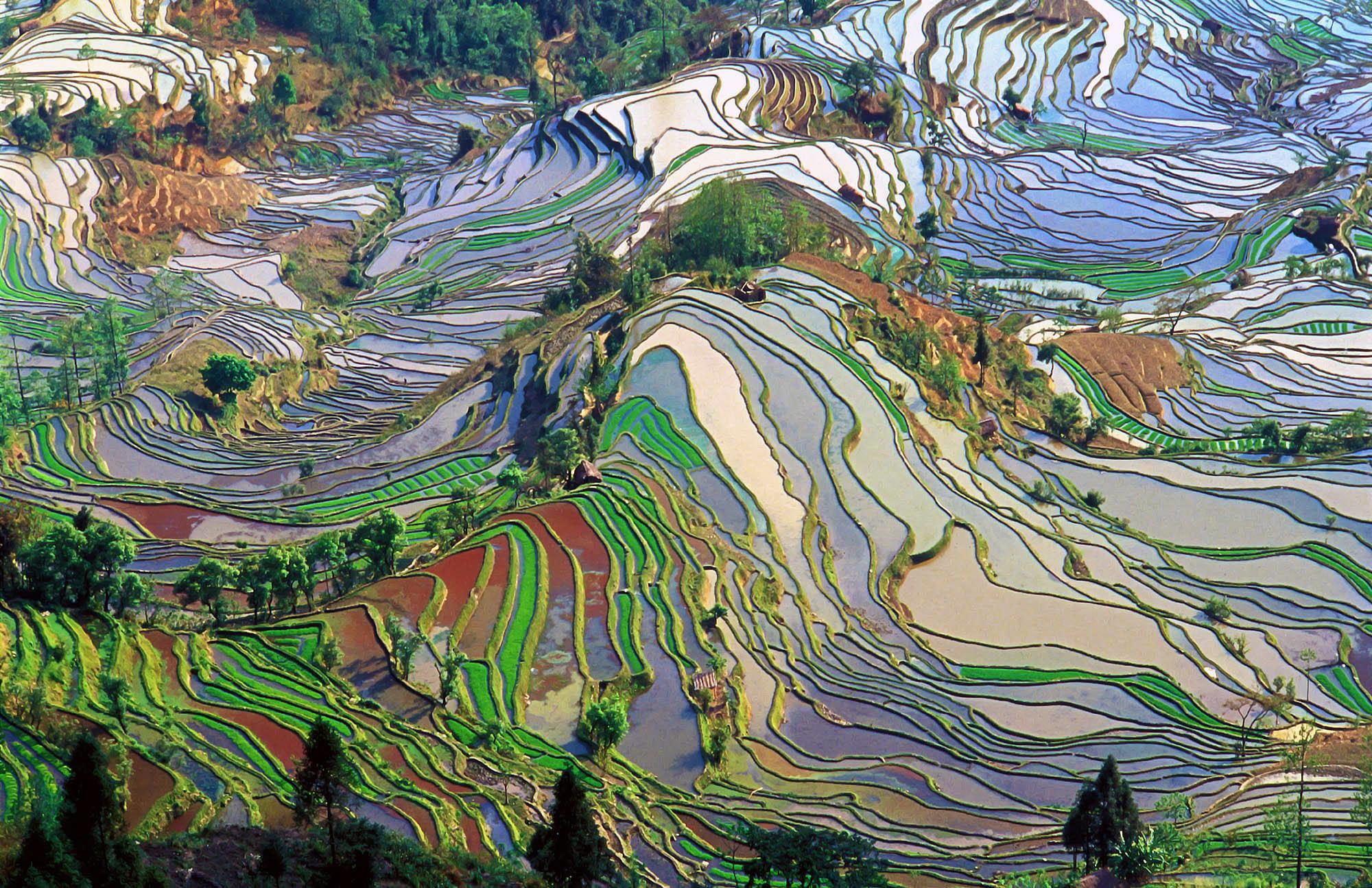 Campo de arroz de Yunnan, China