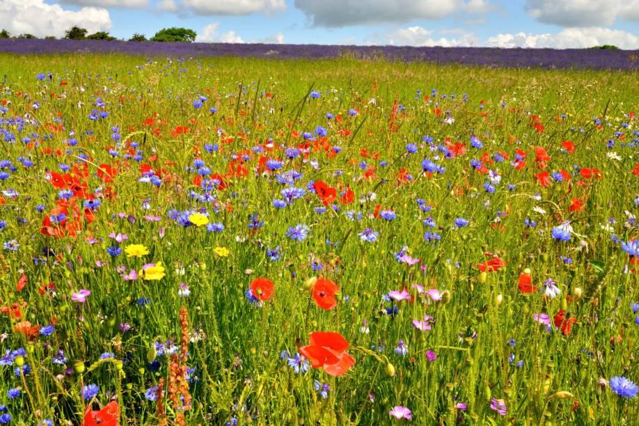 Os campos de flores selvagens fazem tanto sucesso quanto os de canola, linhaça e lavanda