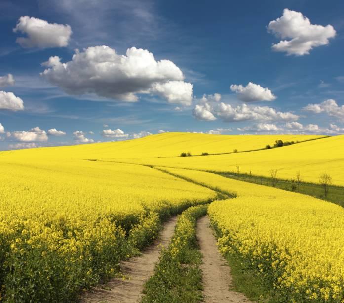 As colzas são plantas típicas de inúmeras regiões do Hemisfério Norte. Seus campos preenchem regiões na Suécia propensas à agricultura, e transformam a paisagem em um cenário romântico