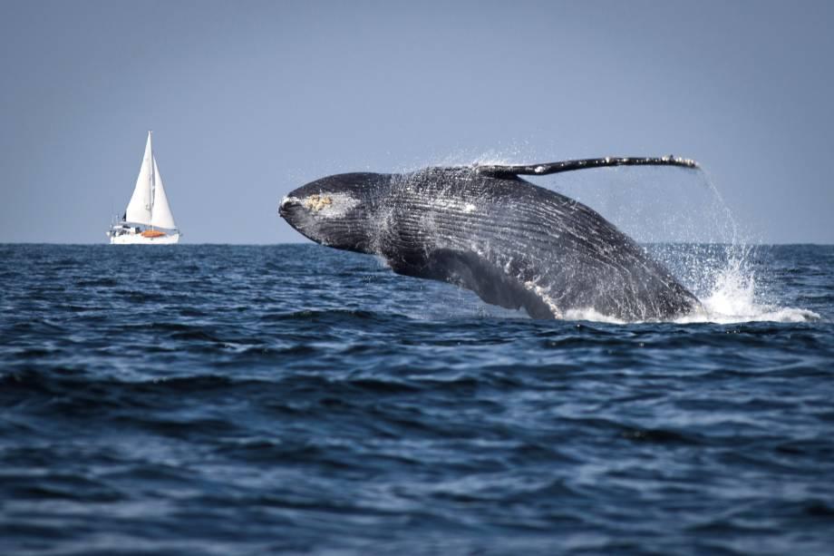 Segundo o Instituto Chico Mendes de Conservação da Biodiversidade (ICMBio), cerca de 90% das baleias-jubarte que chegam ao litoral brasileiro escolhem o Parque Nacional Marinho dos Abrolhos para a temporada de acasalamento