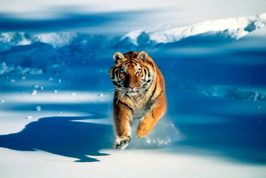 """O tigre-siberiano (<em>Panthera tigris altaica</em>) é uma das muitas subespécies de tigre existentes e habita as florestas do norte da Ásia, entre <a href=""""http://viajeaqui.abril.com.br/paises/russia"""" rel=""""Rússia"""" target=""""_blank"""">Rússia</a>, Mongólia, <a href=""""http://viajeaqui.abril.com.br/paises/china"""" rel=""""China"""" target=""""_blank"""">China</a> e Coréia. Apesar da pequena população vivendo na natureza, ela hoje se encontra estabilizada e mais protegida que seus primos do sudeste asiático, que têm seu habitat cada vez mais reduzido, além de serem caçados descontroladamente. As subespécies de Java e Bali foram extintas no século 20. De cereais matinais a postos gasolina, do zodíaco chinês ao Shere Khan de Rudyard Kipling, esse é um dos animais mais queridos dos humanos e mesmo assim corre perigo de extinção"""