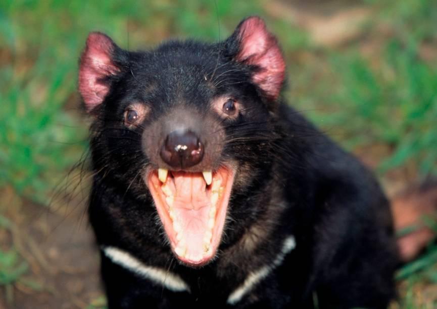 Com seus guinchos agudos e extrema ferocidade, o corpo musculoso e os dentes protuberantes, o diabo da Tasmânia (<em>Sarcophilus harrisii</em>) realmente assusta quem o encara. Habitante da ilha australiana da Tasmânia, é considerado o maior dos marsupiais carnívoros e inspirou o personagem Taz, da série <em>Looney Tunes </em>