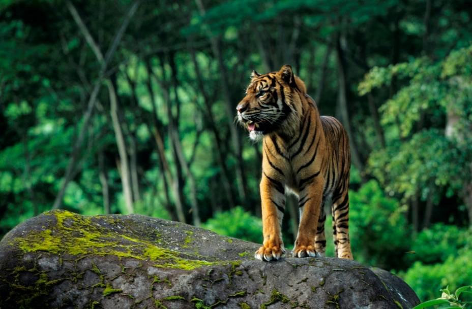 O menor de todos de sua espécie, o tigre de sumatra (<em>Panthera tigris sumatrae</em>) hoje sobrevive com uma população de apenas algumas centenas de exemplares. Seus primos indonésios, os tigres de Java e Bali, foram extintos recentemente, no século 20