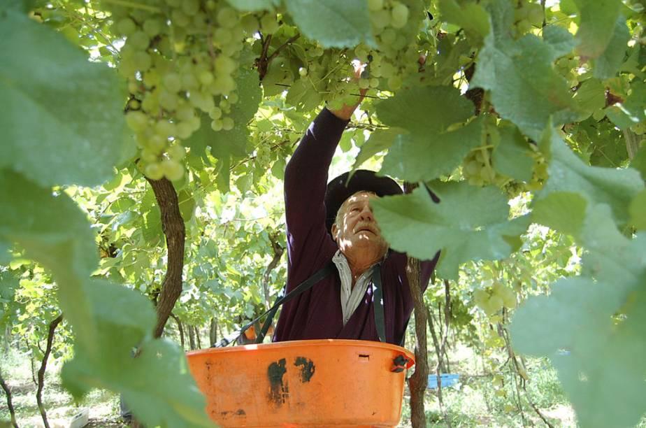 Visitantes podem participar da colheita e pisa da uva