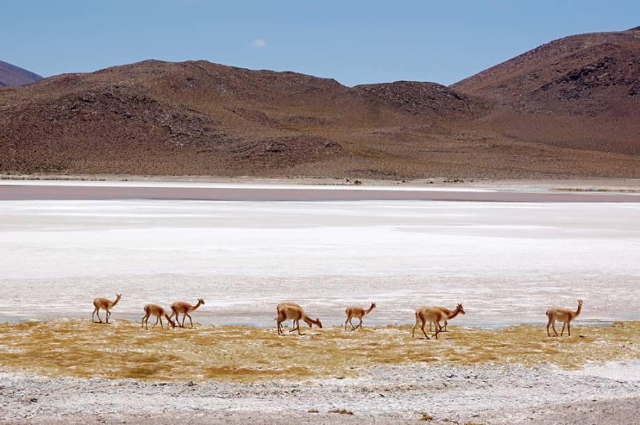 Animais da família dos camelídeos que hoje são facilmente encontrados no Atacama, já foram uma espécie ameaçada, por conta de sua carne e lã de alto valor comercial. Hoje a caça é proibida por lei no Chile.