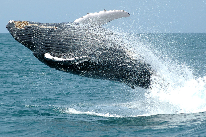 """A gestação das baleias-jubarte dura cerca de 11 meses e o """"filhotinhos"""" já nascem tamanho extra grande: os recém nascidos costumam medir 4 metros e pesar 1,5 tonelada"""