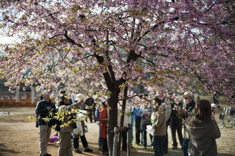 """<strong>1. <a href=""""http://viajeaqui.abril.com.br/estabelecimentos/japao-toquio-atracao-parque-yoyogi"""" rel=""""Yoyogi Park"""" target=""""_blank"""">Yoyogi Park</a></strong>    Março é o mês para ver as cerejeiras em flor no<strong>Yoyogi Park.</strong>Nos fins de semana, os casamentos típicos no Templo Meiji hipnotizam os turistas"""