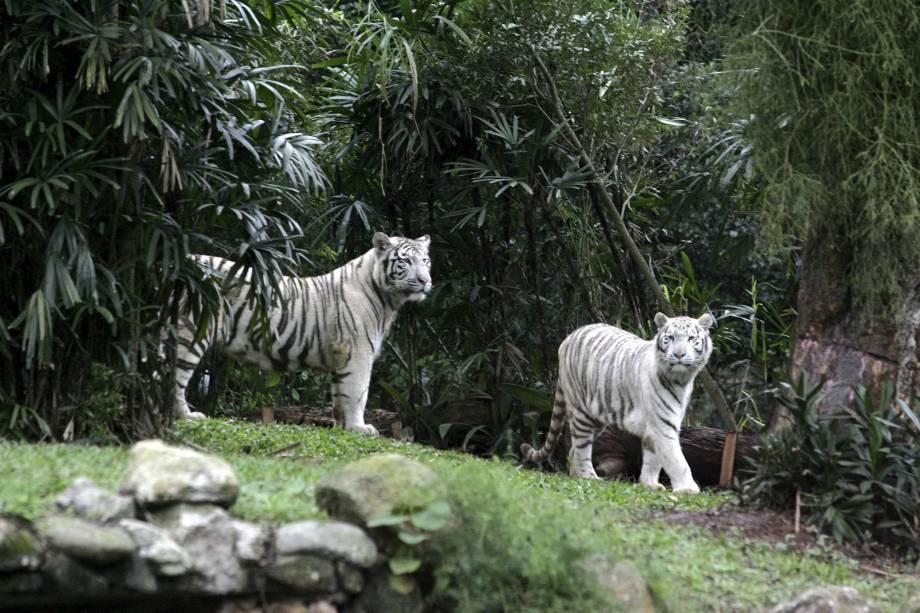 """<strong>Zoológico de São Paulo</strong>O <a href=""""http://viajeaqui.abril.com.br/estabelecimentos/br-sp-sao-paulo-atracao-zoologico"""" rel=""""Zoológico de São Paulo"""" target=""""_self"""">Zoológico de São Paulo</a> é o maior da América Latina, com 3.200 animais do mundo inteiro, que vão dos simpáticos <a href=""""http://viajeaqui.abril.com.br/national-geographic/blog/curiosidade-animal/o-melhor-pai-do-mundo-animal-especial-para-o-dia-dos-pais/"""" rel=""""pinguins"""" target=""""_self"""">pinguins</a> até o enorme <a href=""""http://viajeaqui.abril.com.br/materias/fotos-dos-maiores-animais-do-planeta?foto=9#9"""" rel=""""elefante-africano"""" target=""""_self"""">elefante-africano</a>. Para ver os animais que são ativos à noite, como os <a href=""""http://viajeaqui.abril.com.br/materias/volta-ao-mundo-em-17-animais?foto=15#15"""" rel=""""tigres-de-bengala"""" target=""""_self"""">tigres-de-bengala</a> brancos (<em>foto</em>) e a <a href=""""http://viajeaqui.abril.com.br/national-geographic/blog/curiosidade-animal/onca-pintada-ecoturismo-oncafar/"""" rel=""""onça-pintada"""" target=""""_self"""">onça-pintada</a>, faça o passeio guiado noturno"""