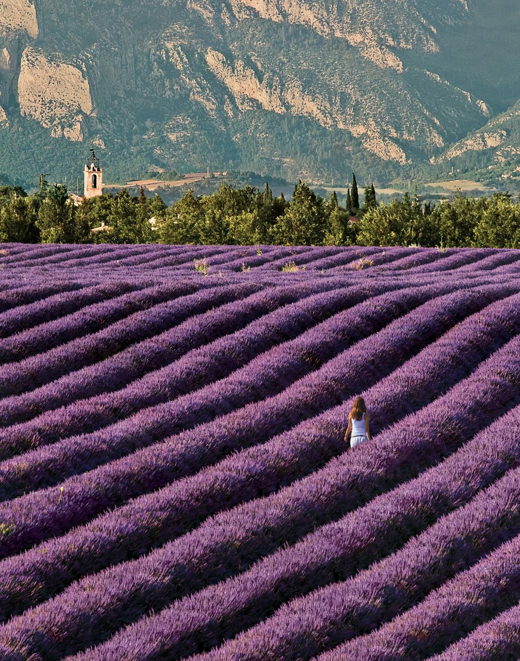 Plantação de lavanda em Provence, na França
