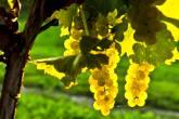Bento em Vindima: a festa celebra a colheita da uva em Bento Gonçalves