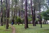Bosque de eucaliptos do parque do Ibirapuera, em São Paulo (SP)