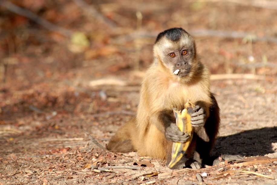 """Macaco-prego, no <a href=""""http://viajeaqui.abril.com.br/cidades/br-pi-serra-da-capivara"""" rel=""""Parque Nacional da Serra da Capivara"""" target=""""_blank"""">Parque Nacional da Serra da Capivara</a>, Piauí"""