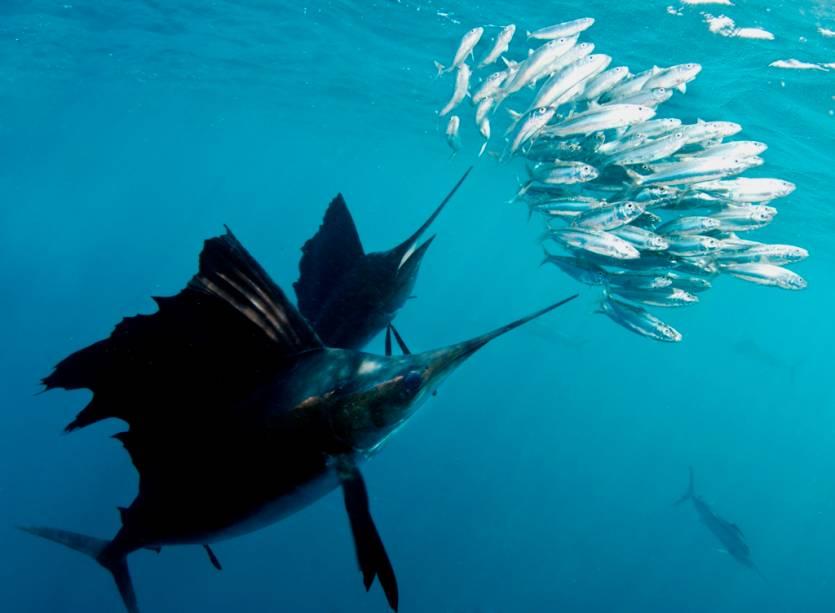 A pesca do peixe-vela é uma das atividades mais populares em Cancún