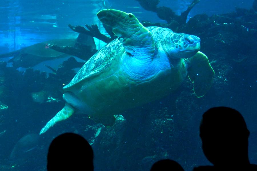 """Visitantes observam tartaruga marinha no <a href=""""http://viajeaqui.abril.com.br/estabelecimentos/estados-unidos-boston-atracao-new-england-aquarium"""" rel=""""New England Aquarium"""" target=""""_blank"""">New England Aquarium</a>, uma das melhores atrações da cidade para famílias com crianças"""
