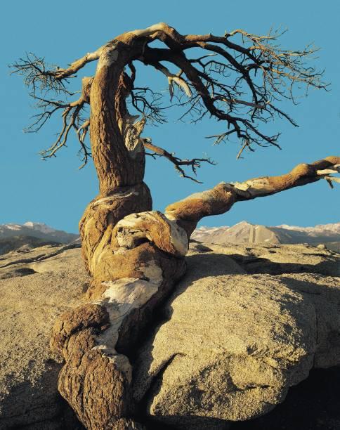 Pinheiro de Jeffrey no parque nacional de Yosemite