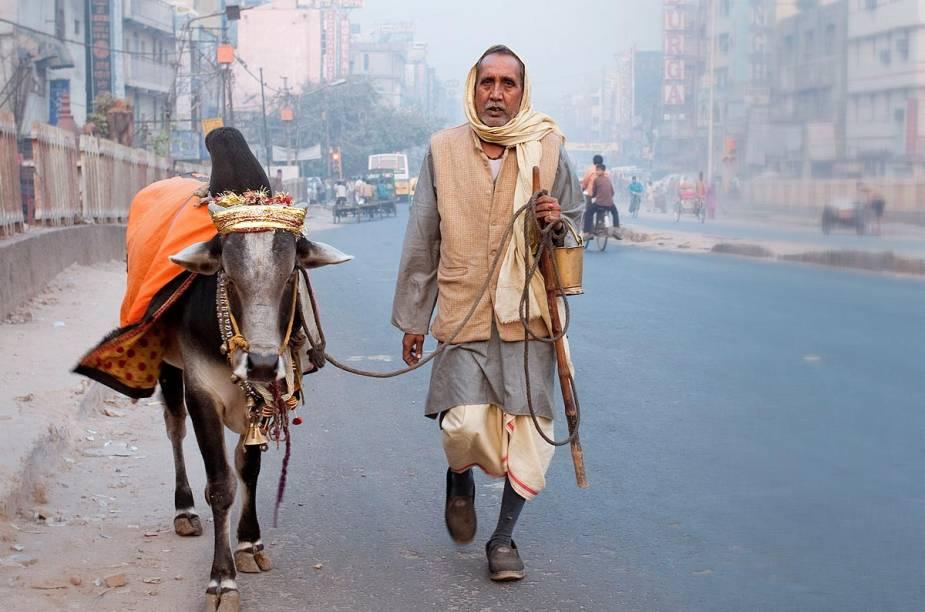 Vida boa de gado: a vaca é sagradíssima, e ai de quem ousar mexer com ela