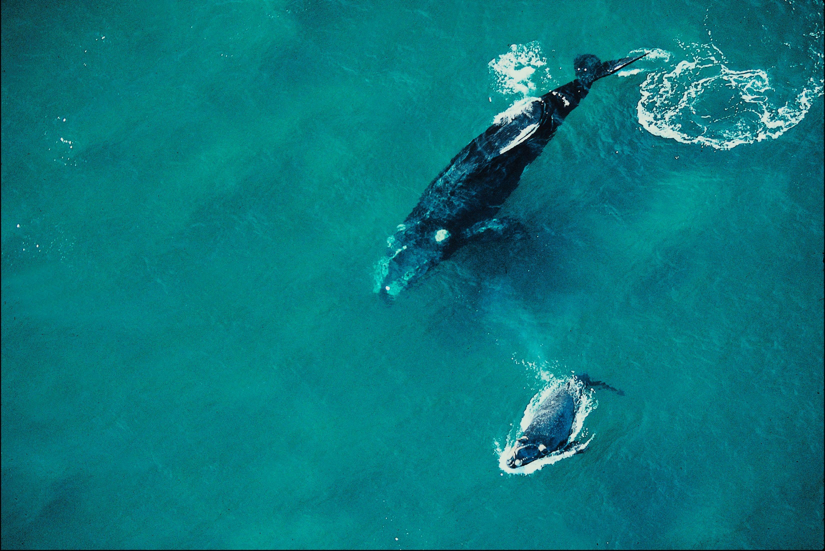 Baleia-franca com filhote