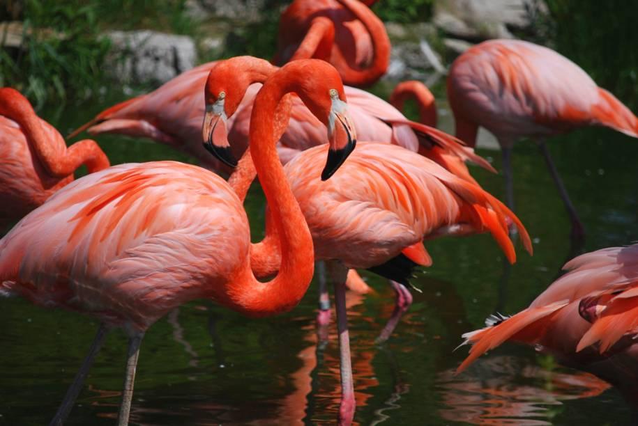 Flamingos se refrescam em lago do zoológico Jungle Island, que tem mais de mil animais, entre pássaros, crocodilos, cobras, tartarugas, macacos e tigres