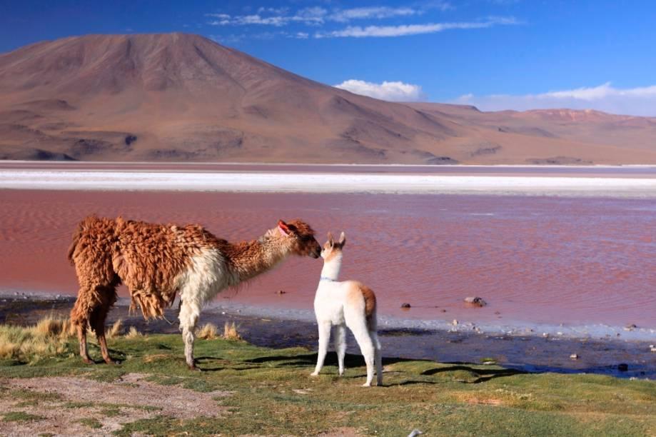 A Laguna Colorada, no altiplano andino, possui uma grande variedade de animais, como flamingos, vicunhas, lhamas e pumas