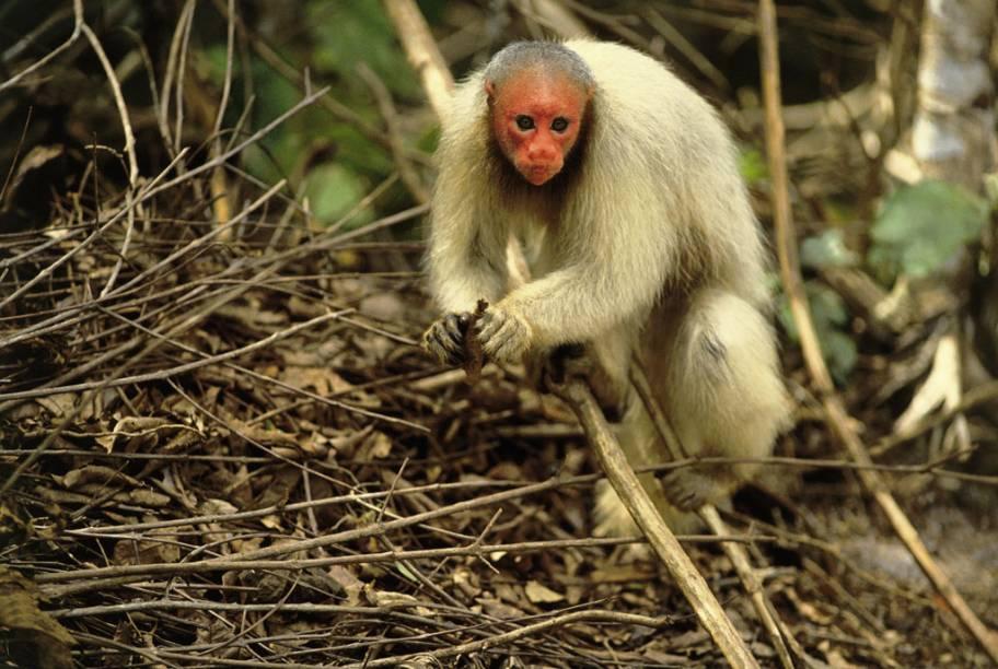 Macaco Uacari-Branco em Manaus, Amazonas