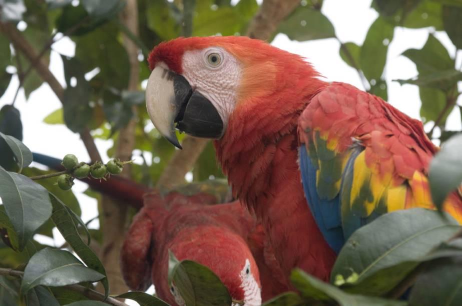 Com mais de 1 000 espécies de aves, a Amazônia é um lugar muito procurado pelos amantes da natureza. A araracanga (foto) faz sucesso entre os observadores de aves (birdwatchers)