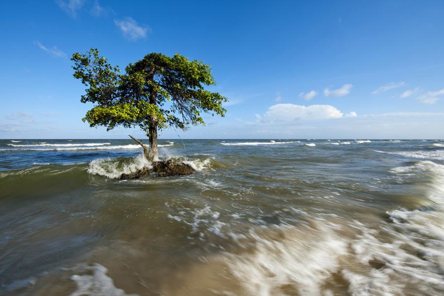 Árvore na maré alta, Ilha de Marajó, Pará