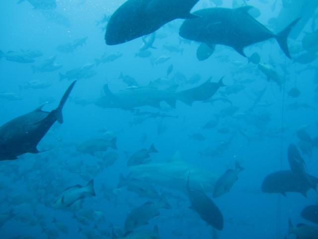 Na parte de cima da foto, os mais escuros são os giant trevallys, que enlouquecem quando as iscas são liberadas e peitam os tubarões
