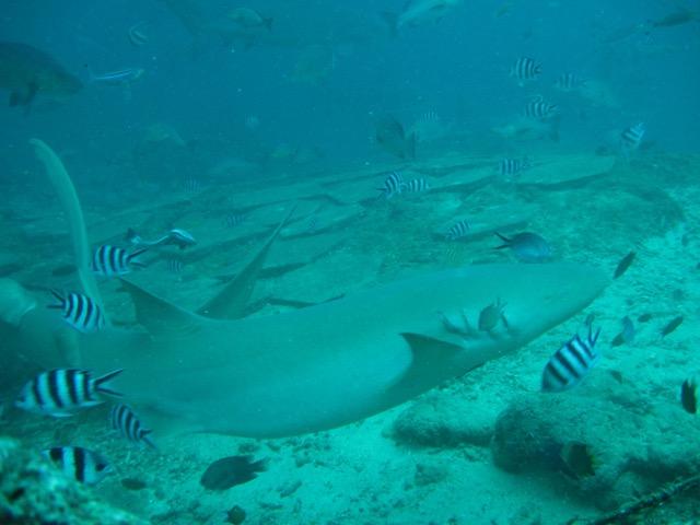 Um belo e formoso tubarão-lixa