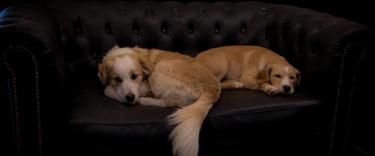 Não se pode incomodar os cães quando eles estiverem dormindo - mesmo que seja no seu sofá preferido