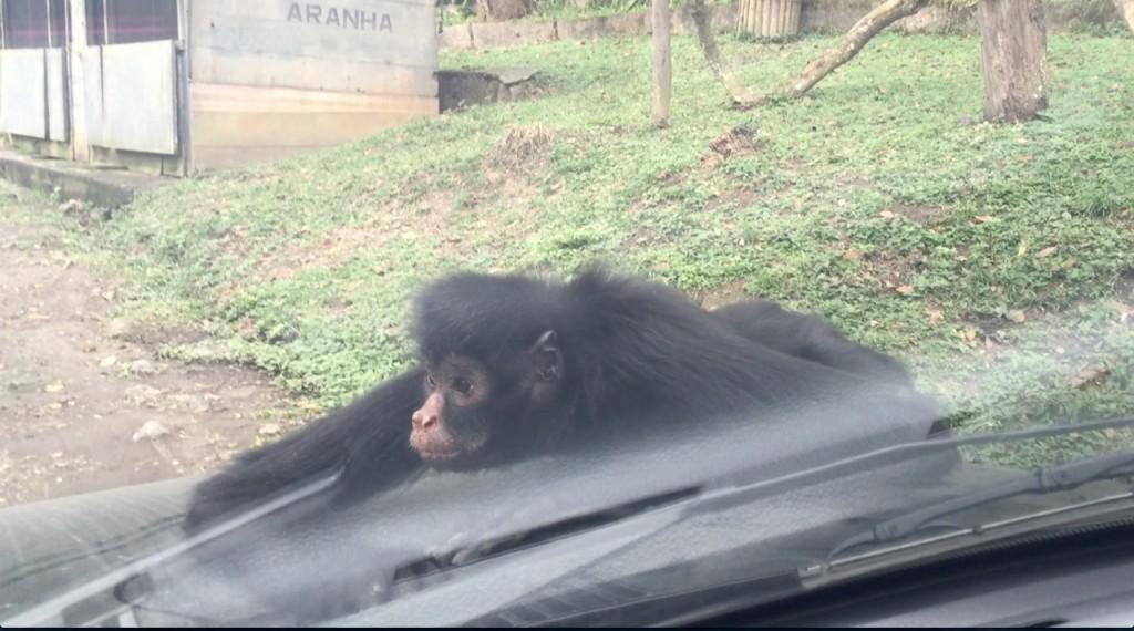 Os macacos adoram subir nos carros!!! (Foto: Família Nômade)