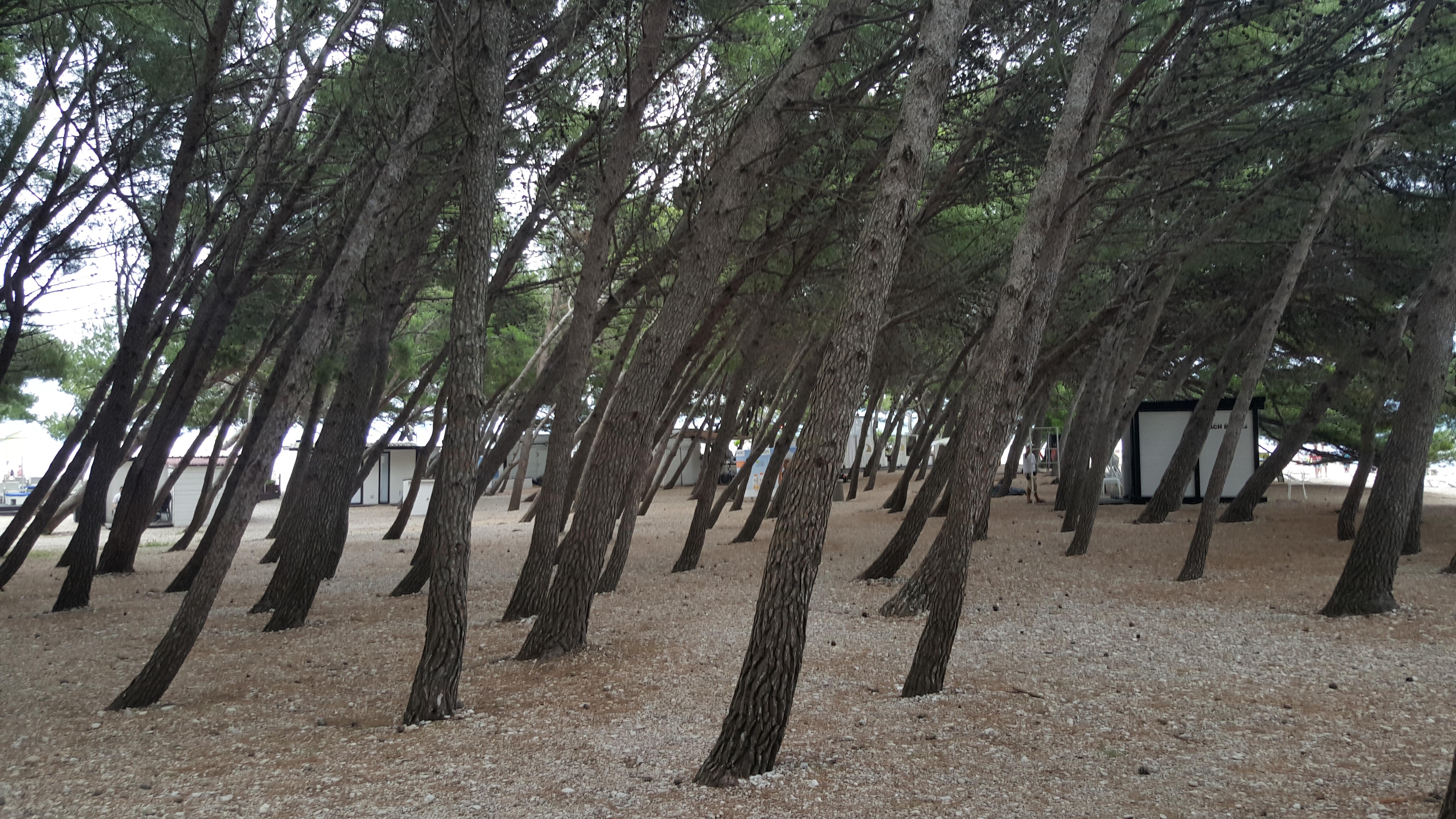 As árvores deixam bem claro que o vento sobra mais forte de um lado de Zlatni Rat